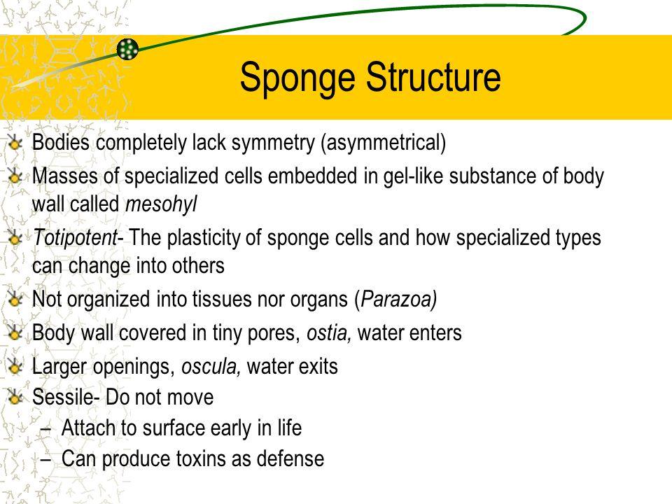 Sponge Structure Bodies completely lack symmetry (asymmetrical)