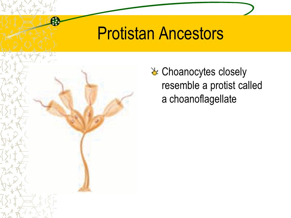 Protistan Ancestors Choanocytes closely resemble a protist called a choanoflagellate