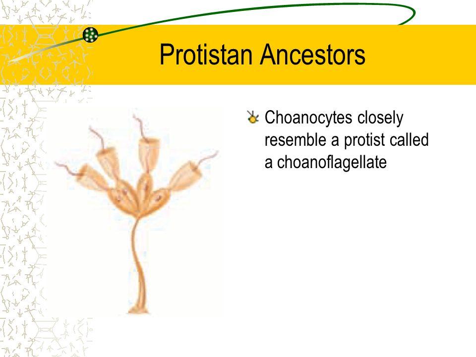 Protistan Ancestors Choanocytes closely resemble a protist called a choanoflagellate