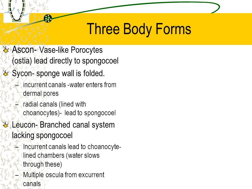 Three Body Forms Ascon- Vase-like Porocytes (ostia) lead directly to spongocoel. Sycon- sponge wall is folded.