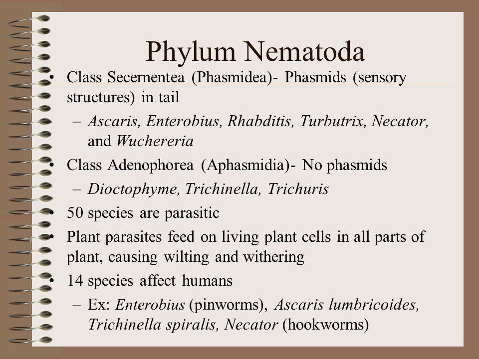 Phylum Nematoda Class Secernentea (Phasmidea)- Phasmids (sensory structures) in tail.