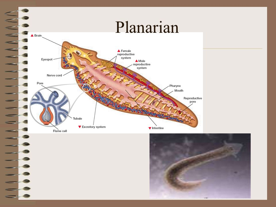 Planarian