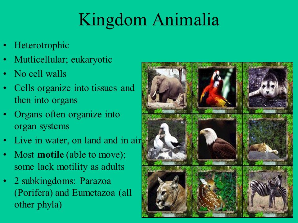 Kingdom Animalia Heterotrophic Mutlicellular; eukaryotic No cell walls