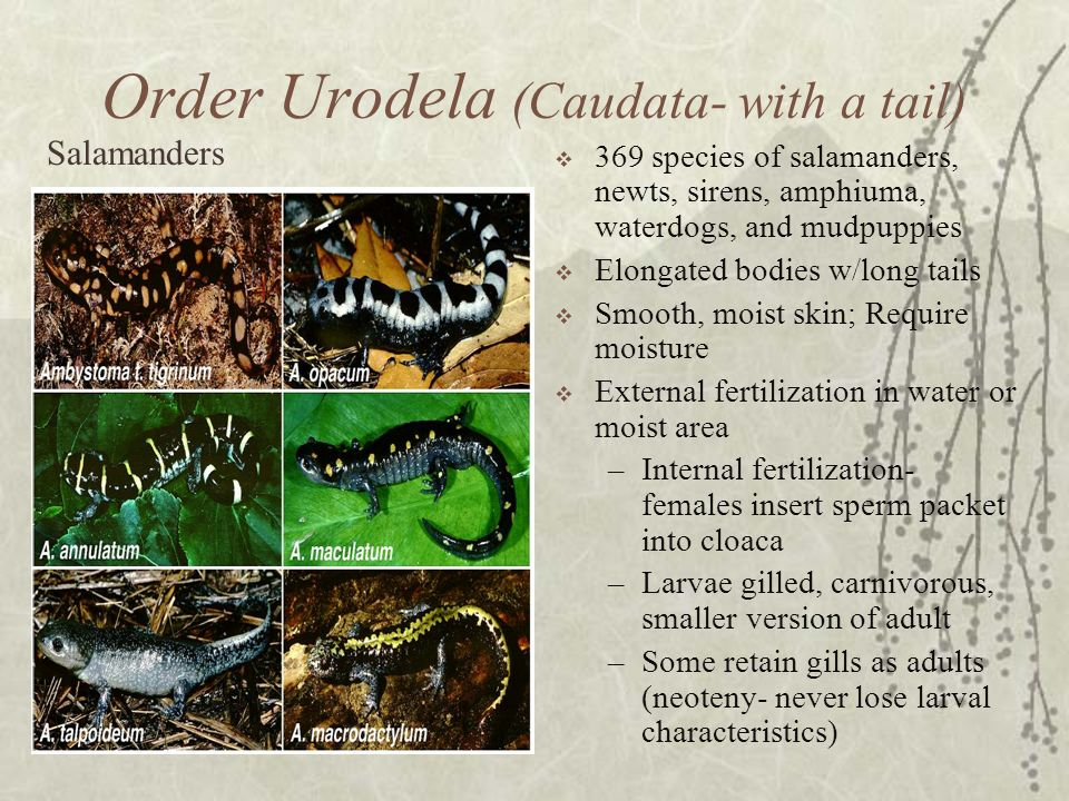 Order Urodela (Caudata- with a tail)