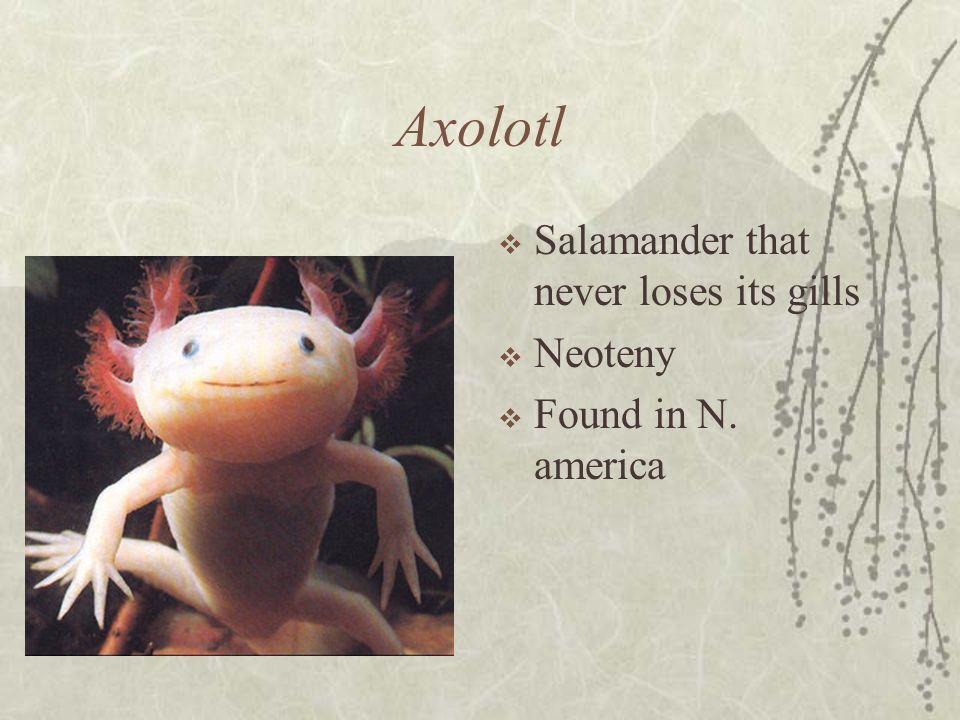 Axolotl Salamander that never loses its gills Neoteny