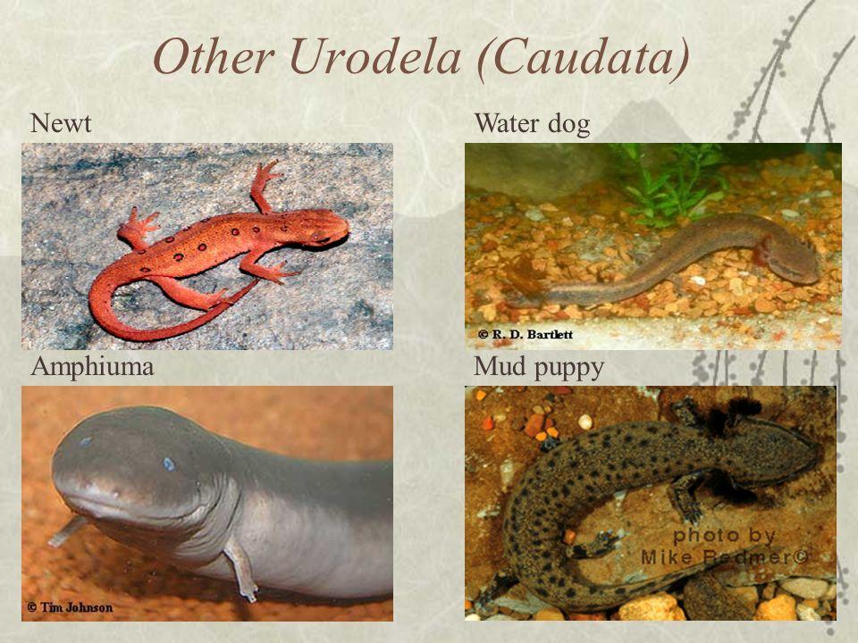 Other Urodela (Caudata)