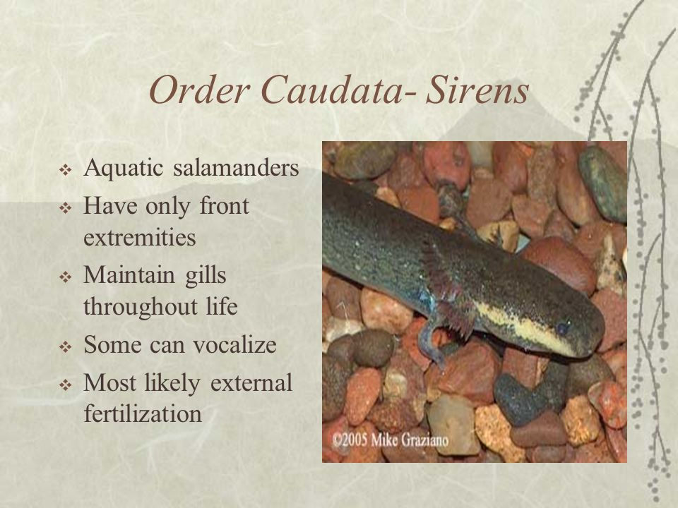 Order Caudata- Sirens Aquatic salamanders Have only front extremities
