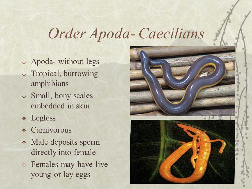 Order Apoda- Caecilians