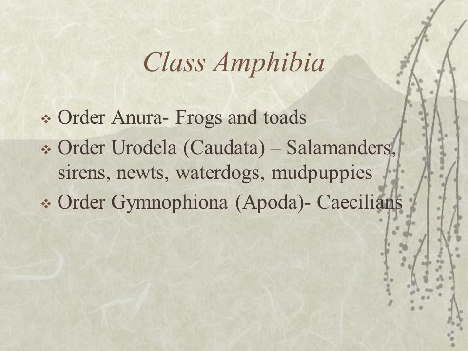 Class Amphibia Order Anura- Frogs and toads