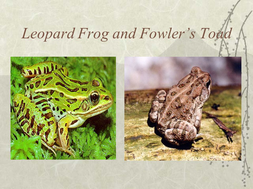 Leopard Frog and Fowler's Toad