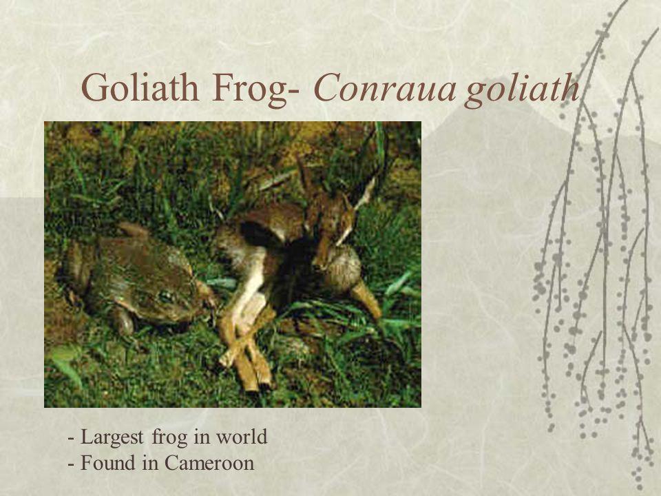 Goliath Frog- Conraua goliath