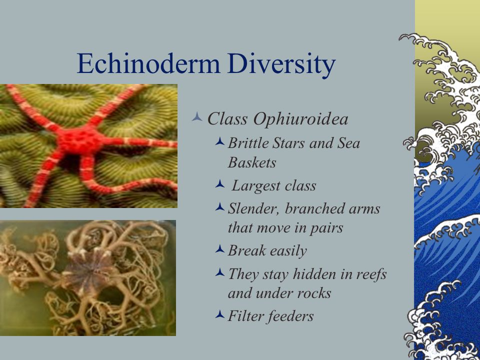Echinoderm Diversity Class Ophiuroidea Brittle Stars and Sea Baskets