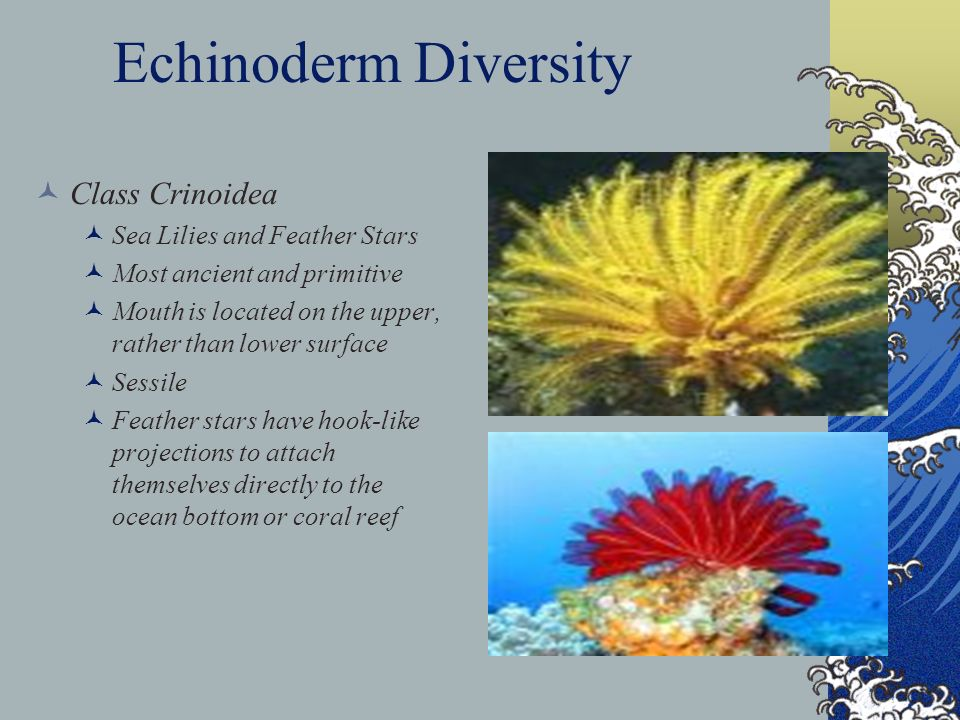 Echinoderm Diversity Class Crinoidea Sea Lilies and Feather Stars