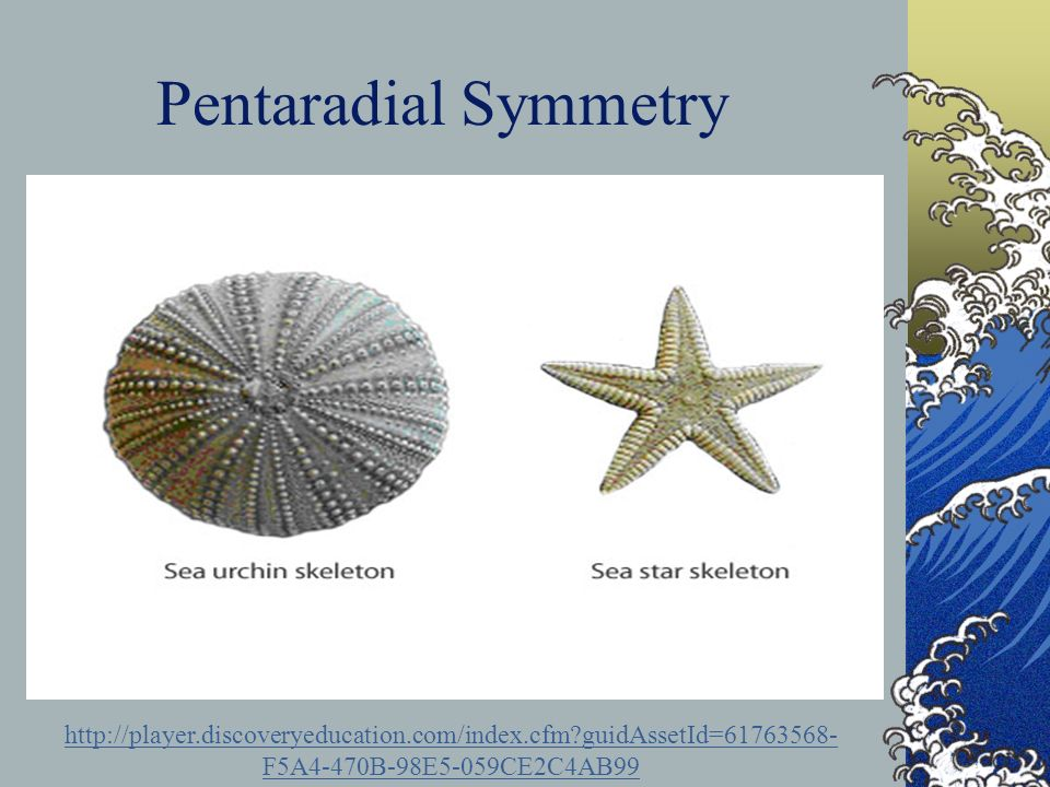 Pentaradial Symmetry http://player.discoveryeducation.com/index.cfm guidAssetId=61763568-F5A4-470B-98E5-059CE2C4AB99.