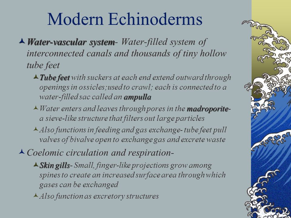 Modern Echinoderms Water-vascular system- Water-filled system of interconnected canals and thousands of tiny hollow tube feet.