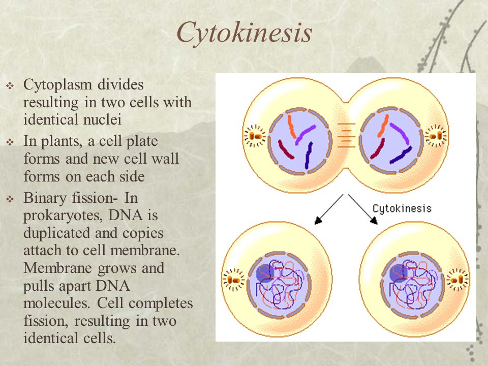 Cytokinesis Cytoplasm divides resulting in two cells with identical nuclei. In plants, a cell plate forms and new cell wall forms on each side.