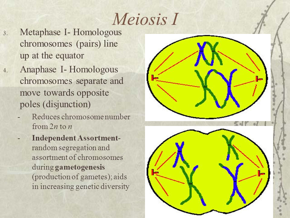 Meiosis I Metaphase I- Homologous chromosomes (pairs) line up at the equator.