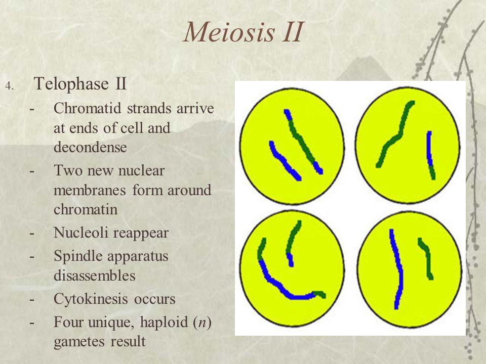 Meiosis II Telophase II