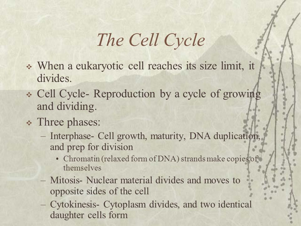 The Cell Cycle When a eukaryotic cell reaches its size limit, it divides. Cell Cycle- Reproduction by a cycle of growing and dividing.