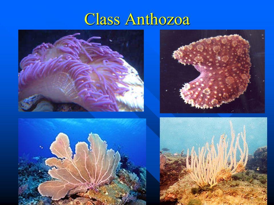 Class Anthozoa