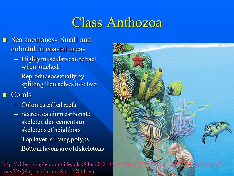 Class Anthozoa Sea anemones- Small and colorful in coastal areas