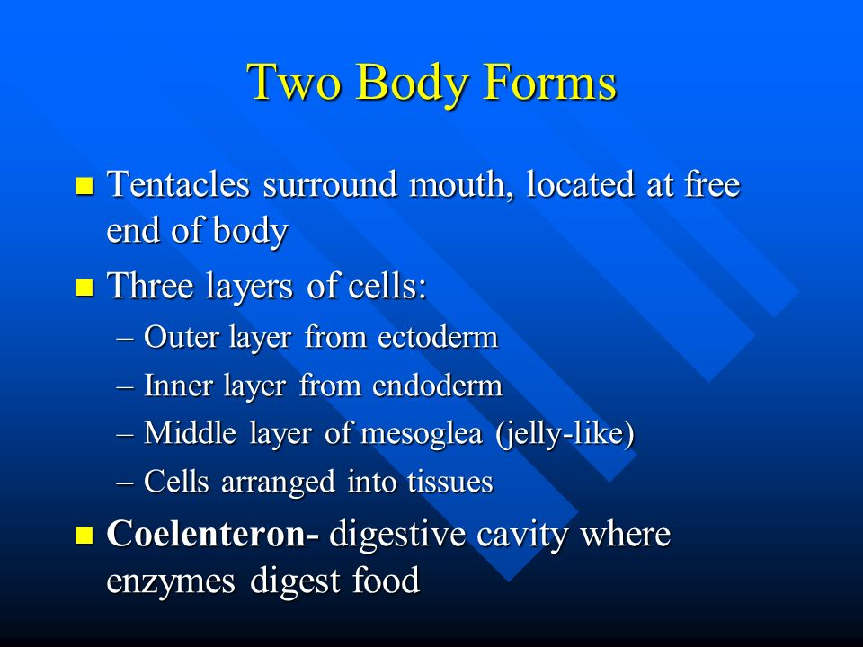 Two Body Forms Tentacles surround mouth, located at free end of body