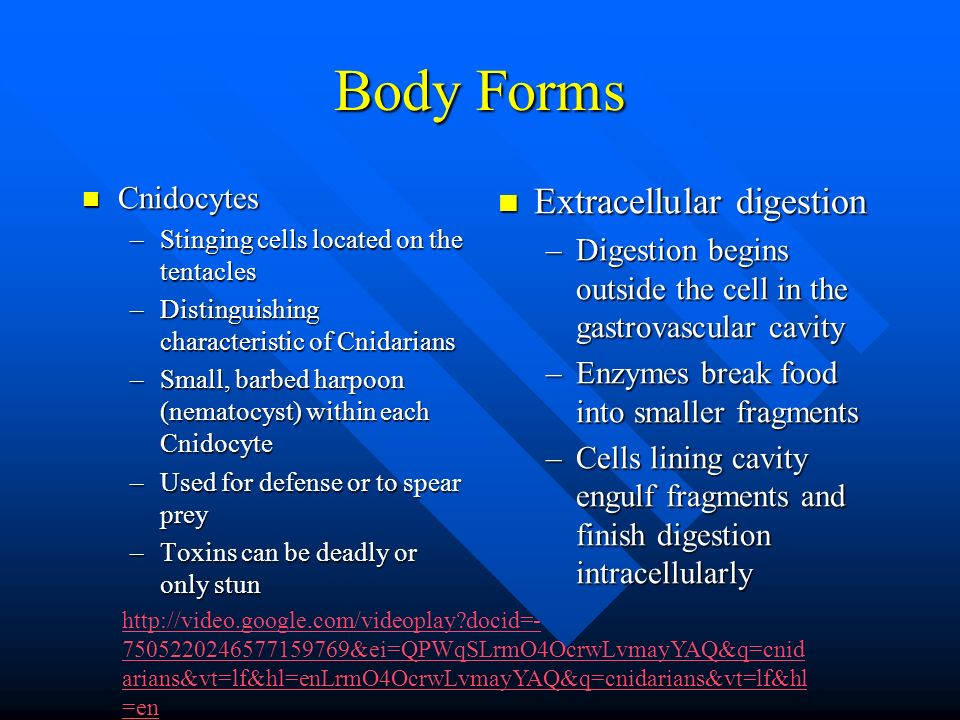Body Forms Extracellular digestion Cnidocytes