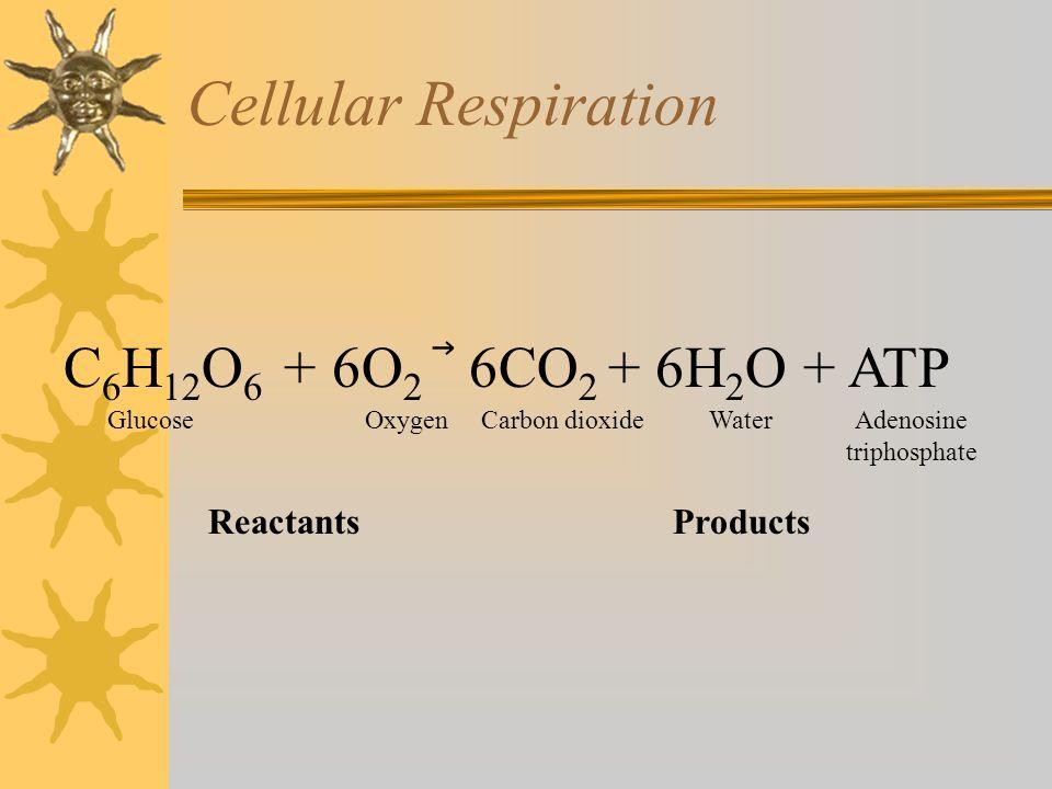 Cellular Respiration C6H12O6 + 6O2 ⃗ 6CO2 + 6H2O + ATP