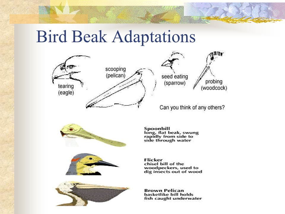 Bird Beak Adaptations
