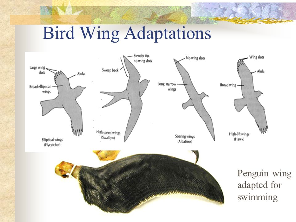 Bird Wing Adaptations Penguin wing adapted for swimming