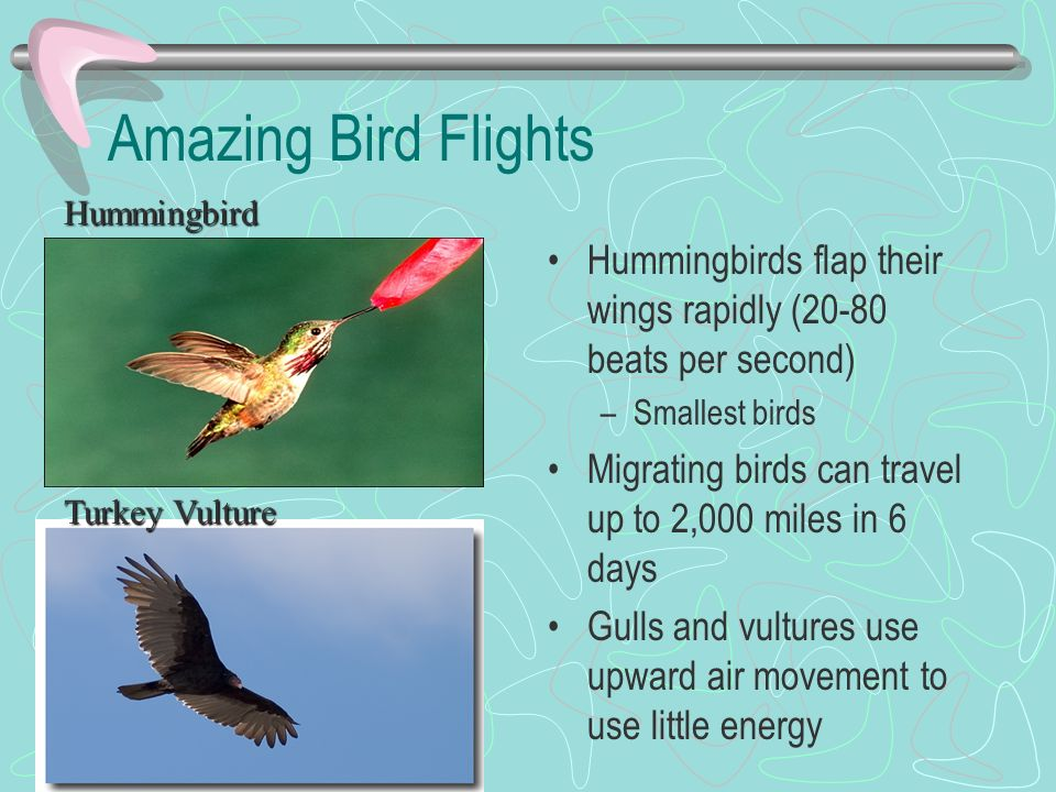 Amazing Bird Flights Hummingbird. Hummingbirds flap their wings rapidly (20-80 beats per second) Smallest birds.