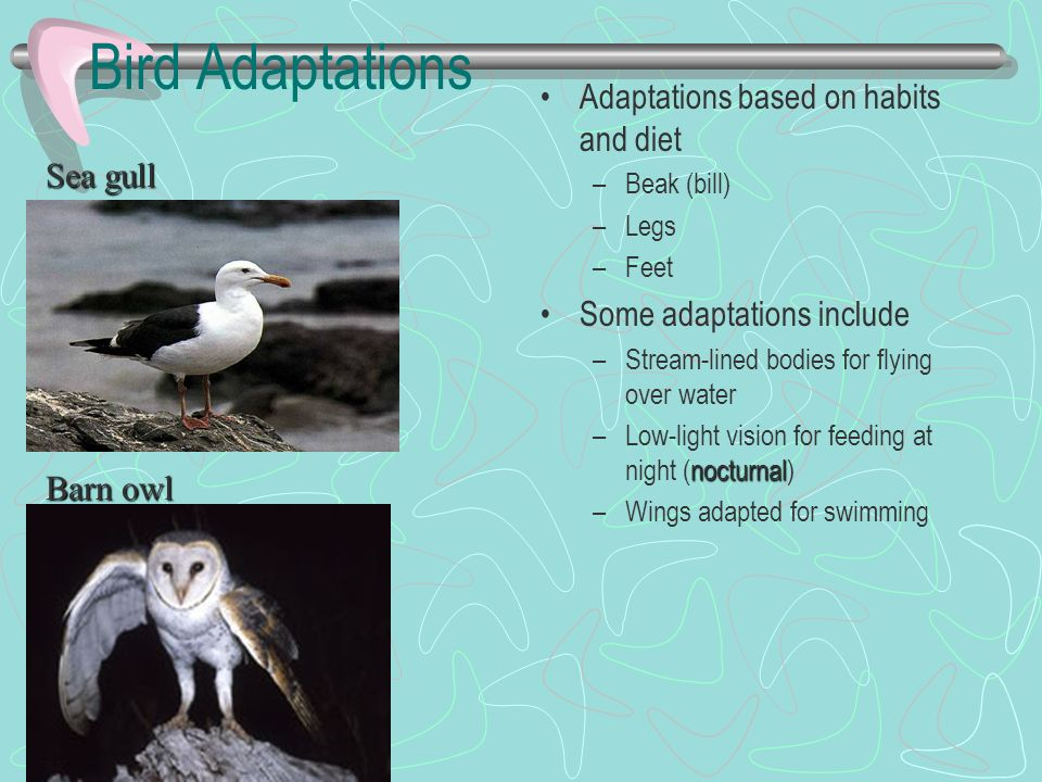 Bird Adaptations Adaptations based on habits and diet Sea gull