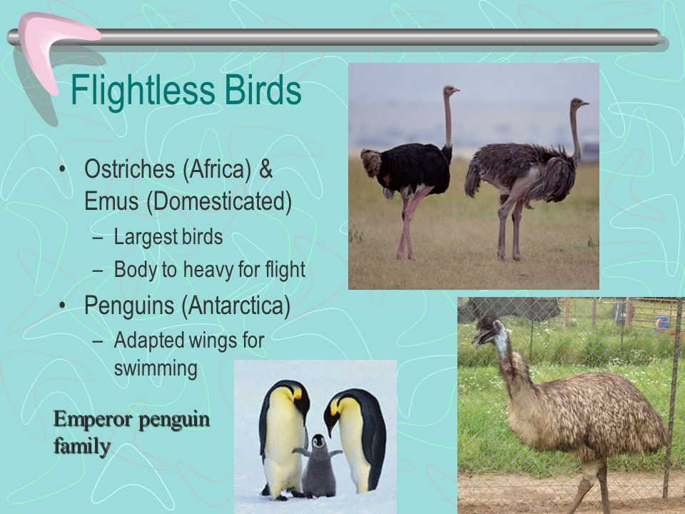 Flightless Birds Ostriches (Africa) & Emus (Domesticated)