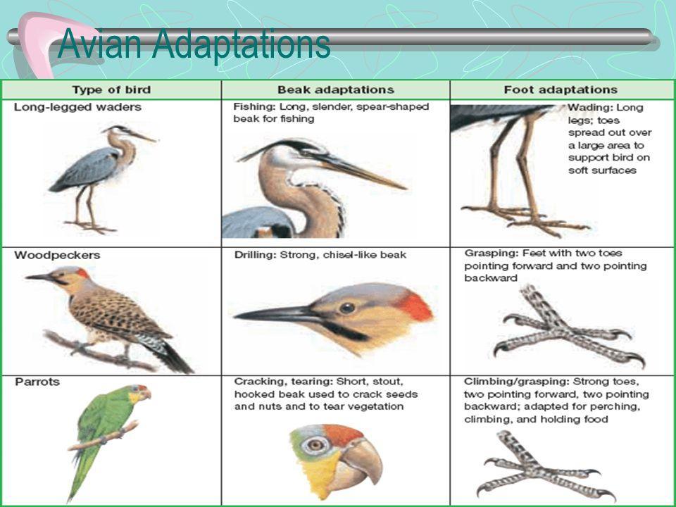Avian Adaptations