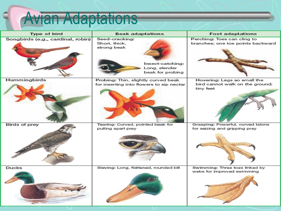 Avian Adaptations
