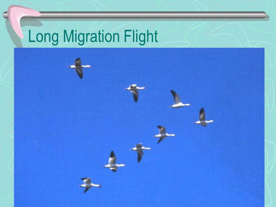 Long Migration Flight