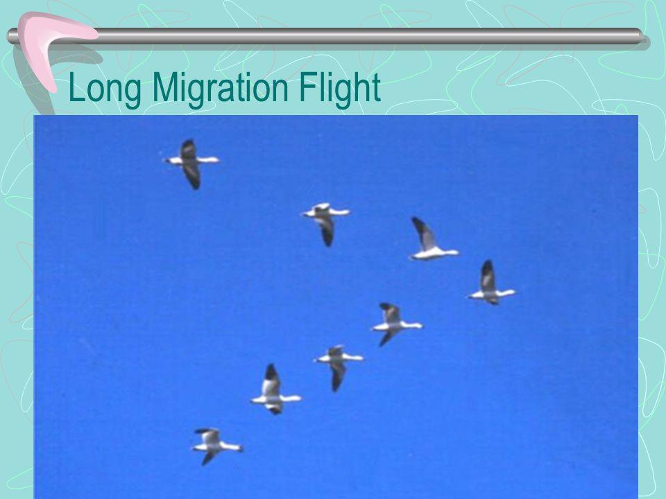 Long Migration Flight