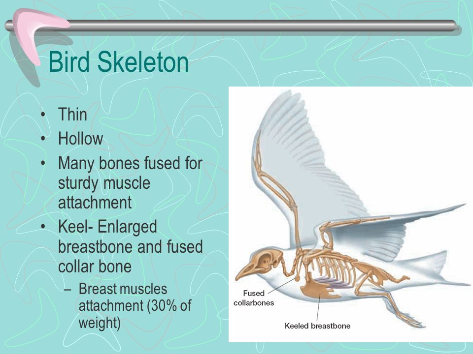 Bird Skeleton Thin Hollow