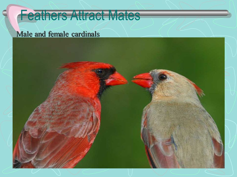 Feathers Attract Mates