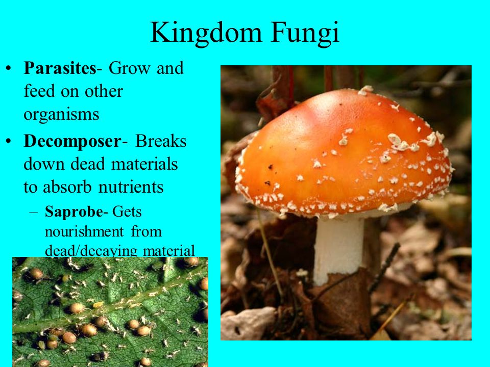 Kingdom Fungi Parasites- Grow and feed on other organisms