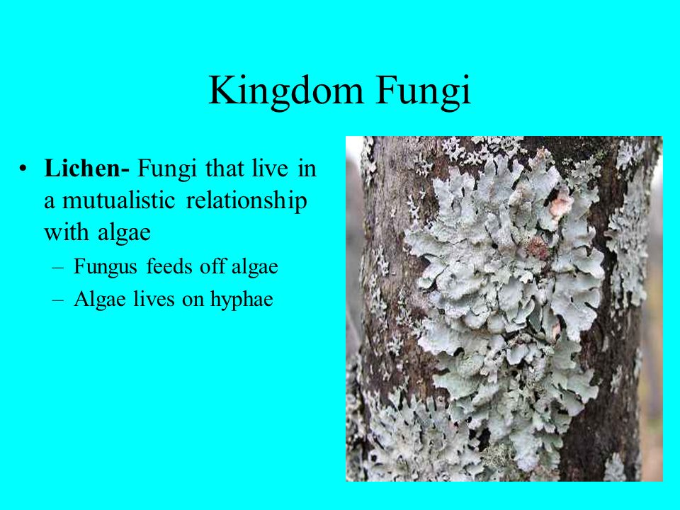 Kingdom Fungi Lichen- Fungi that live in a mutualistic relationship with algae. Fungus feeds off algae.