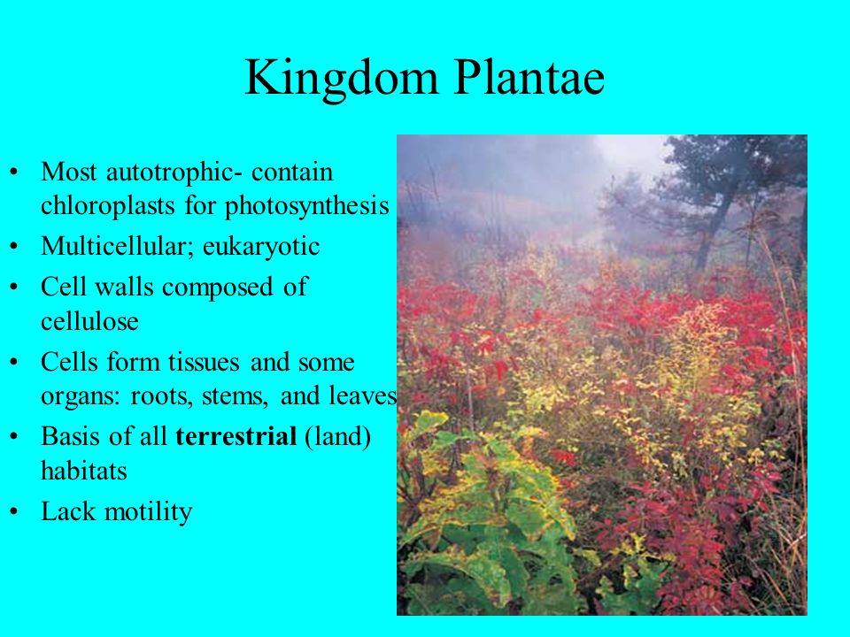 Kingdom Plantae Most autotrophic- contain chloroplasts for photosynthesis. Multicellular; eukaryotic.