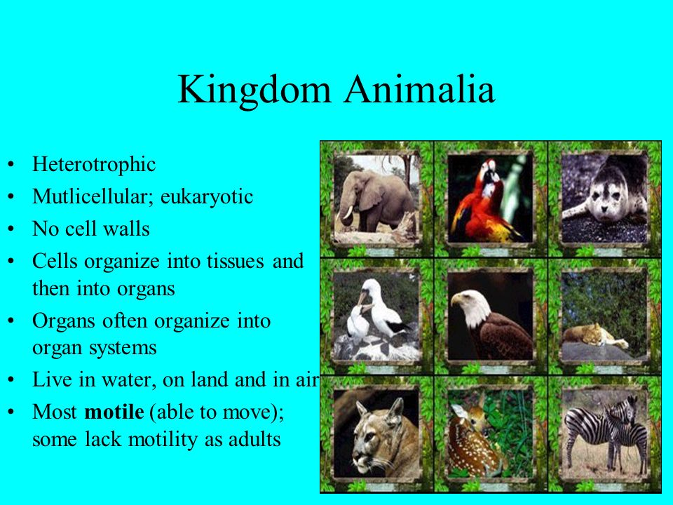 Kingdom Animalia Heterotrophic Mutlicellular; eukaryotic No cell walls
