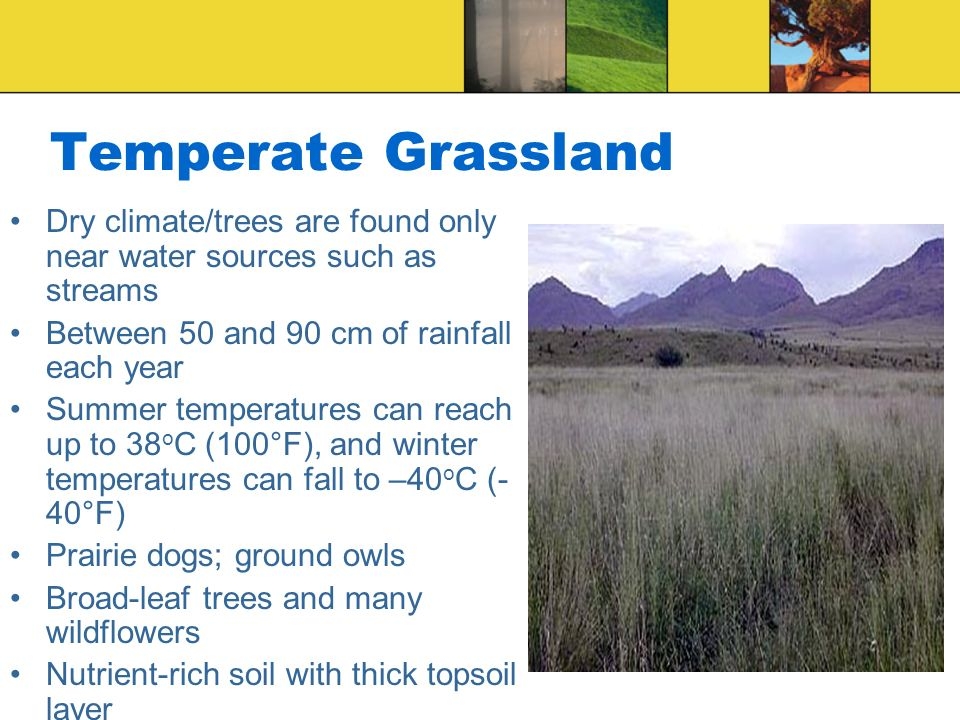 Temperate Grassland Dry climate/trees are found only near water sources such as streams. Between 50 and 90 cm of rainfall each year.