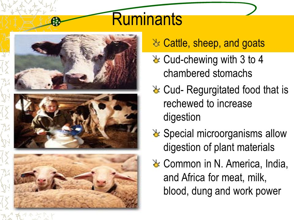 Ruminants Cattle, sheep, and goats