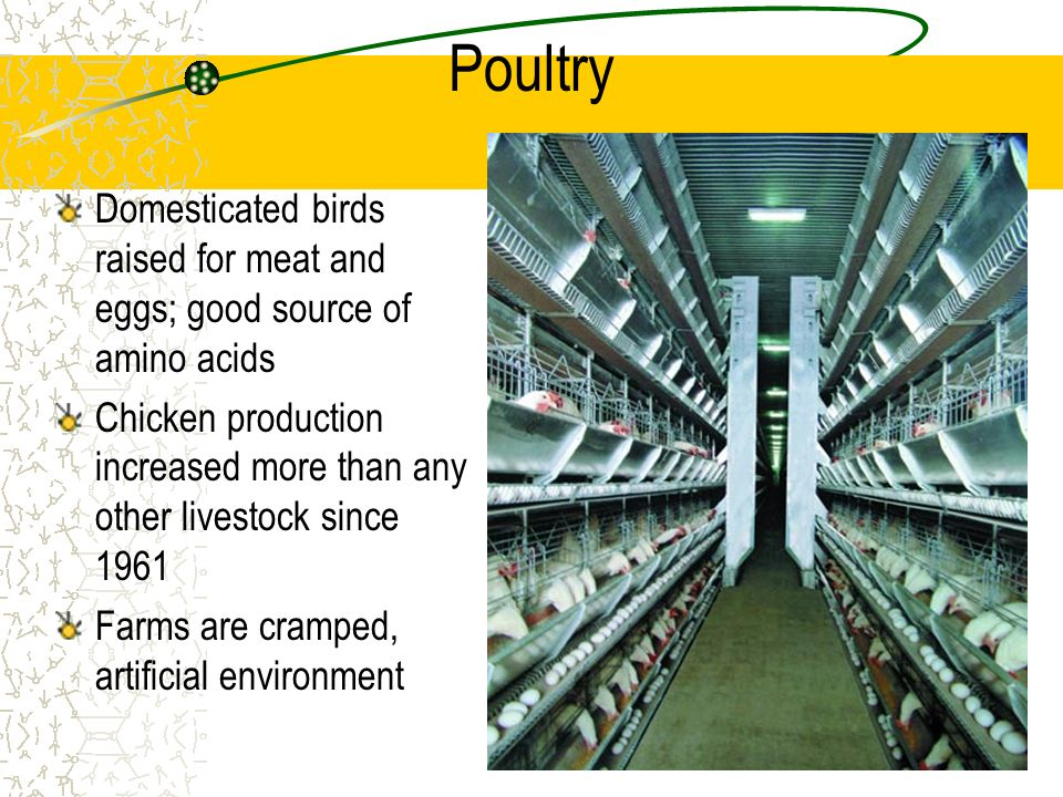 Poultry Domesticated birds raised for meat and eggs; good source of amino acids.