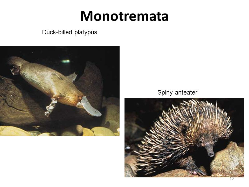 Monotremata Duck-billed platypus Spiny anteater