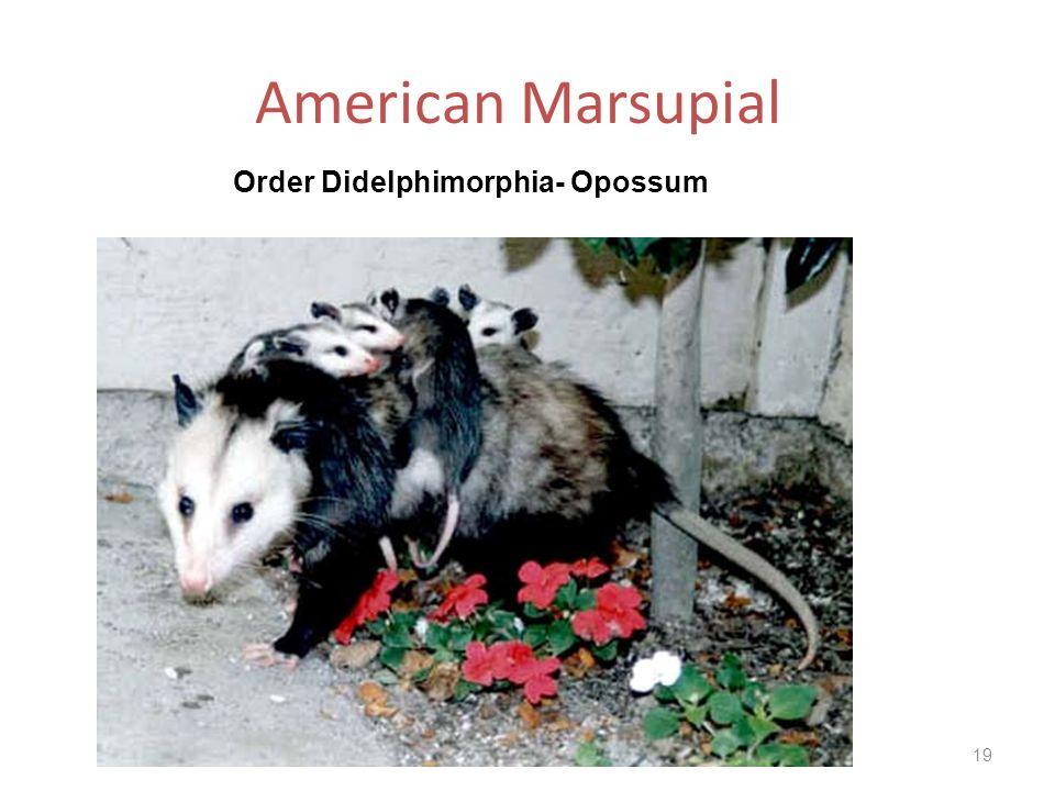 Order Didelphimorphia- Opossum