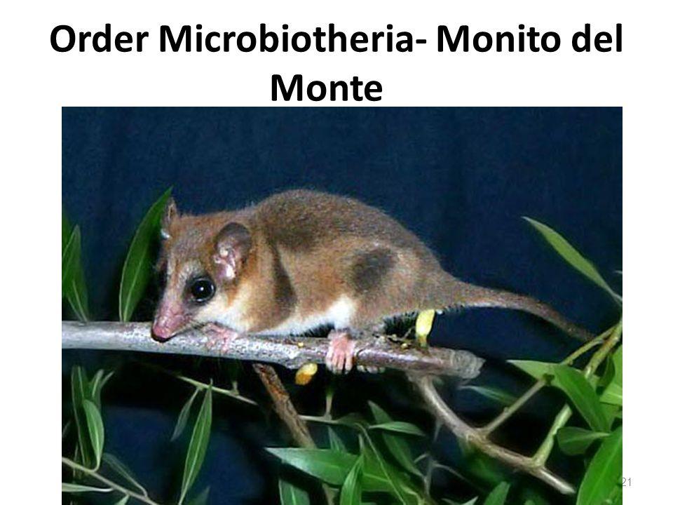 Order Microbiotheria- Monito del Monte