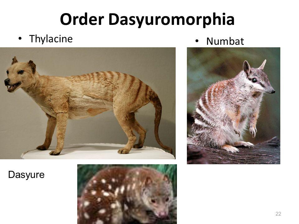 Order Dasyuromorphia Thylacine Numbat Dasyure